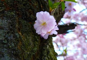 flore-cerisier-01-fleur-tronc