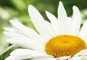 flore-marguerite-00-print