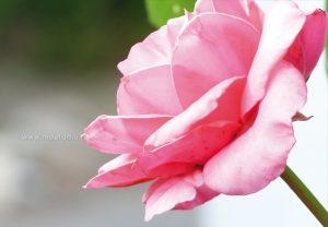 flore-rose-00-print