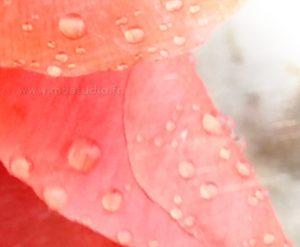 Corolle de coquelicot sous la pluie