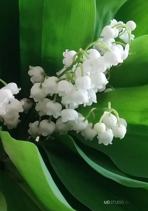 Branche de muguets, blanches clochettes, écrin de verts