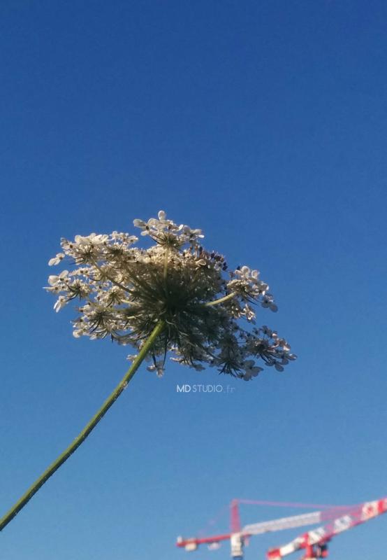 Carotte sauvage, grue et ciel bleu