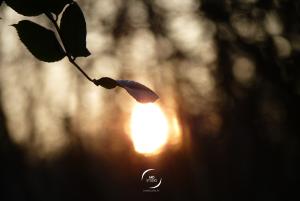 feuille caressant le soleil couchant, forêt Gétignoise