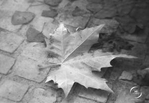 feuille de platane effleurant la surface d'une flaque