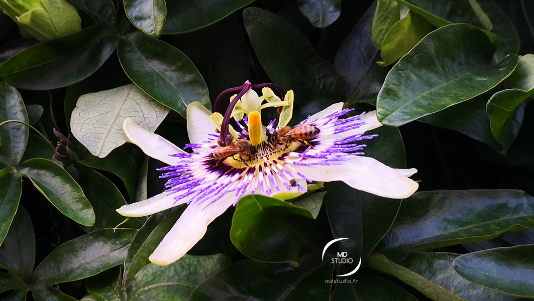 fleur de la passion | photo MDstudio