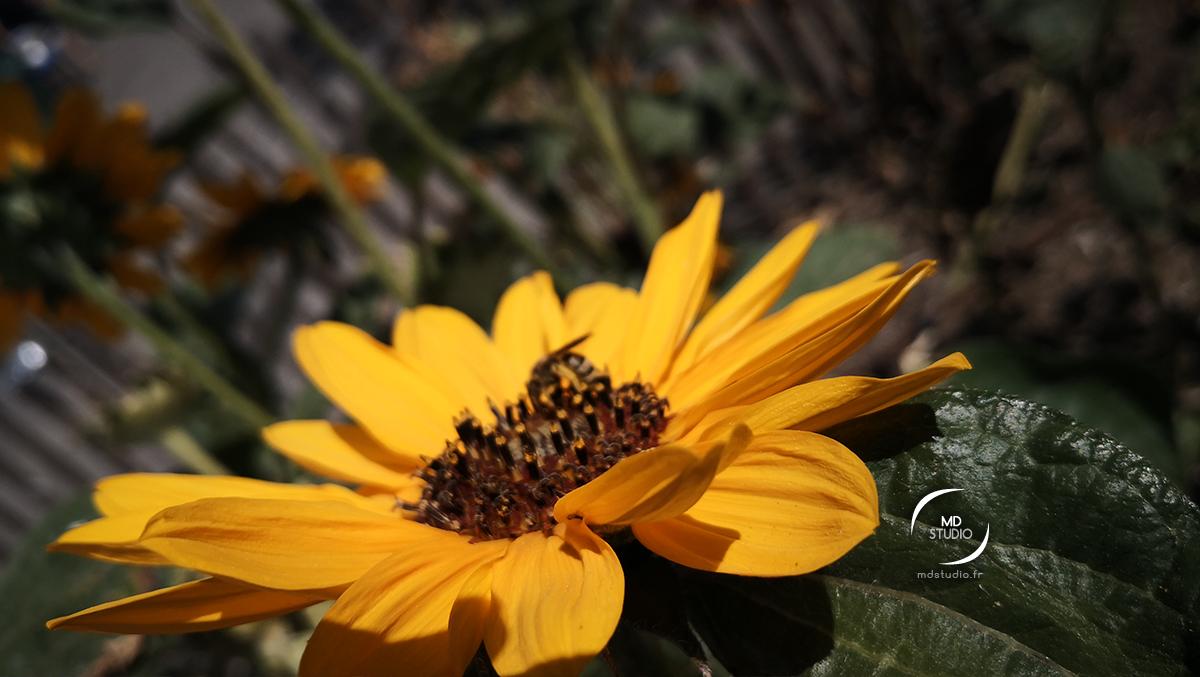 grand-soleil ou tournesol | photo MDstudio