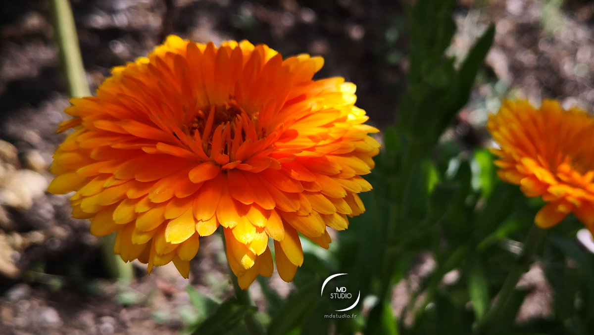 souci officinal ou calendula officinalis | photo MDstudio