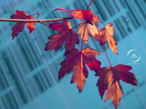 branche et feuilles d'érable, fond bleu et bâtiment   photo MDstudio
