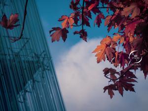 branche et feuilles d'érable, fond bleu et bâtiment | photo MDstudio