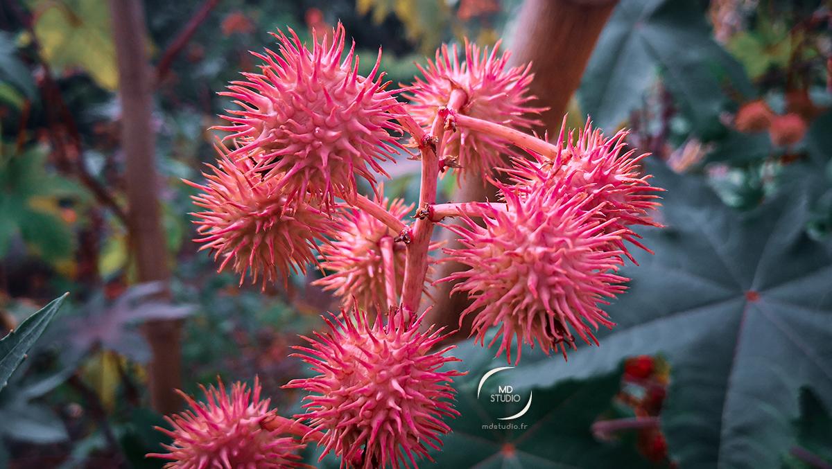 Fruits de Ricinius Communis ou Ricin commun   photo MDstudio