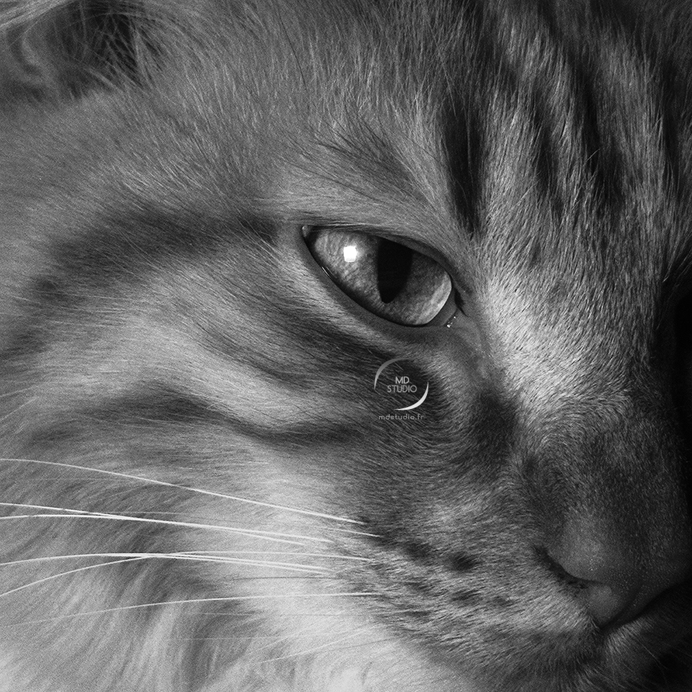 chat domestique | regard de prédateur | photo MDstudio