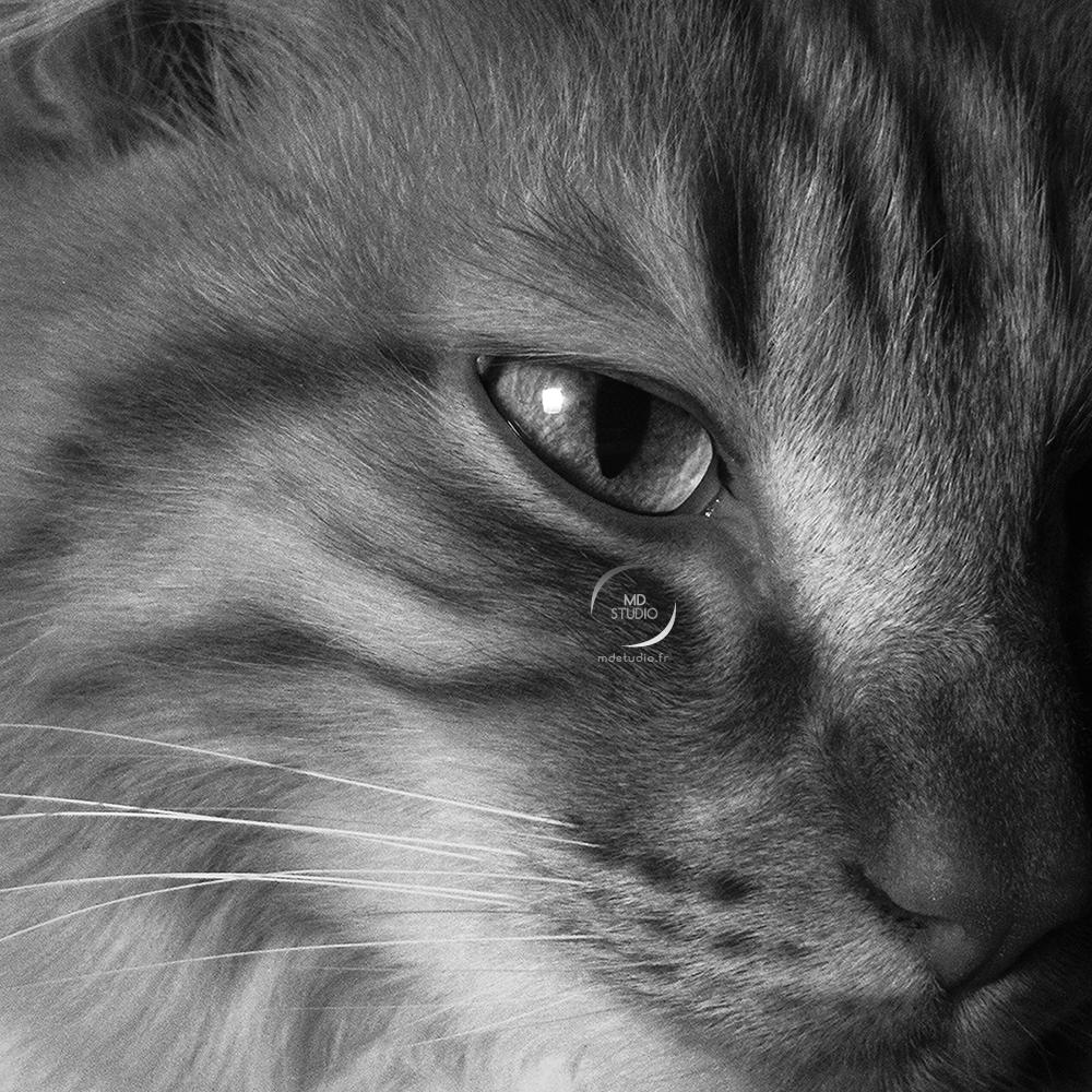 chat domestique | regard de prédateur | photo MDstudio