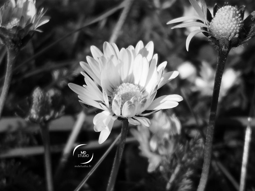 photographie en noir et blanc | fleur de pâquerettes à demi épanouies | photo MDstudio