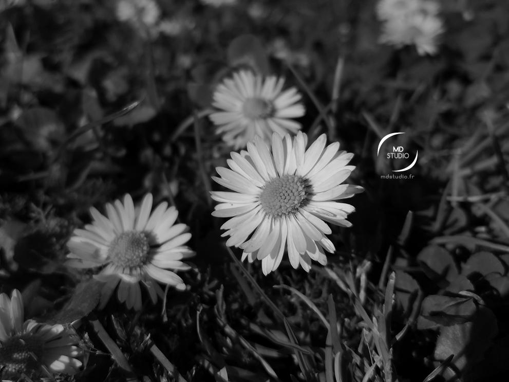 photographie en noir et blanc | fleur de pâquerettes ouvertes | photo MDstudio