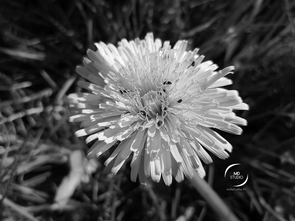 photographie en noir et blanc | fleur de pissenlit, visitée par des insectes | photo MDstudio