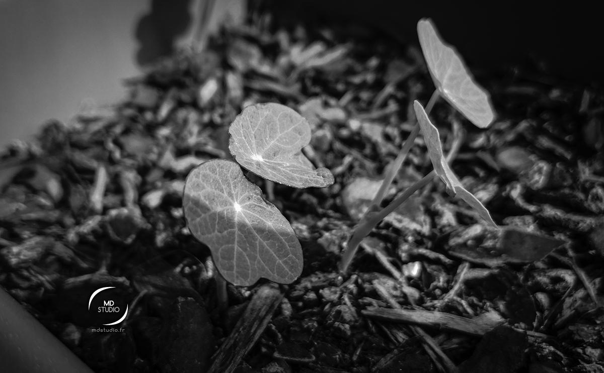 Jeunes plants de capucines, feuilles tournées vers le soleil | photo MDstudio | photographie en noir et blanc | mai 2021