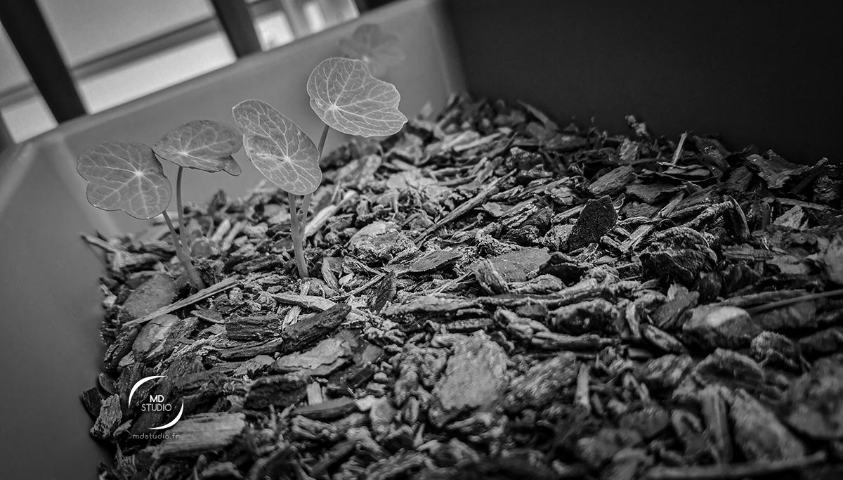 Jeunes plants de capucines sous un paillage, en bac| photo MDstudio | photographie en noir et blanc | mai 2021