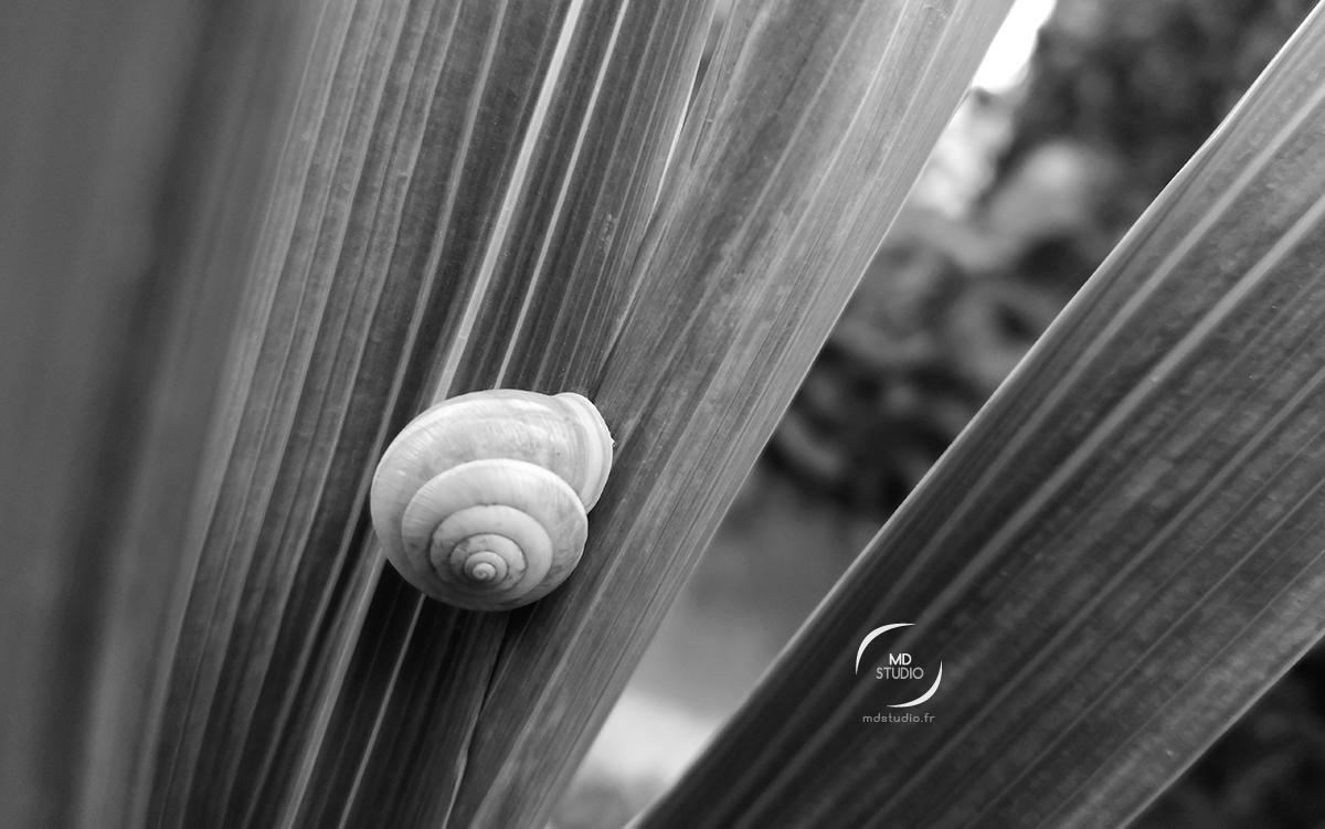 coquille d'escargot habitée avec un gastéropode fixé entre les tiges d'une plante | photo MD studio